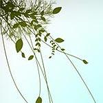 Fresh foliage